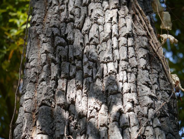 Asna (Terminalia elliptica) bark