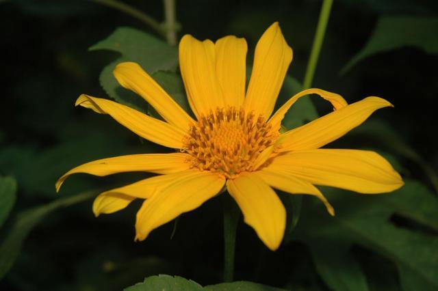 Mexican sunflower (Tithonia diversifolia), flower