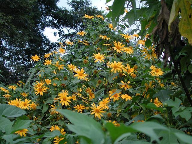 Mexican sunflower (Tithonia diversifolia), habit, Cordoba, Mexico