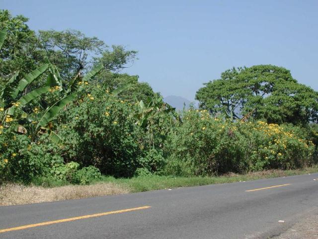 Mexican sunflower (Tithonia diversifolia), hedge, Cordoba, Mexico