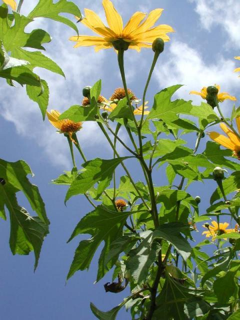 Mexican sunflower (Tithonia diversifolia), leaves and stems, Cordoba, Mexico
