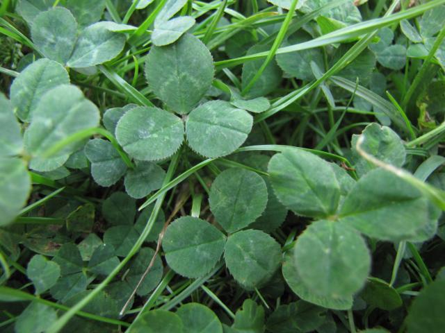 White clover (Trifolium repens) leaves