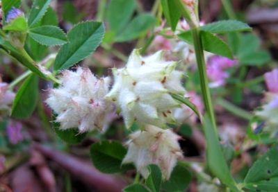 Persian clover (Trifolium resupinatum), woolly, mature flower