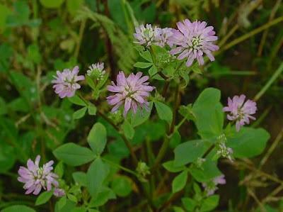 Persian clover (Trifolium resupinatum), flowers