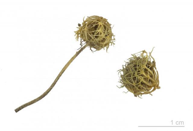 Subclover (Trifolium subterraneum), burrs