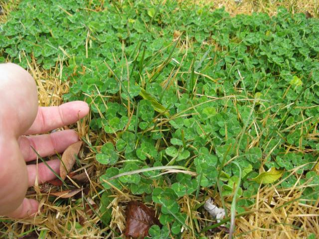Subclover (Trifolium subterraneum), stand, foliage close-up