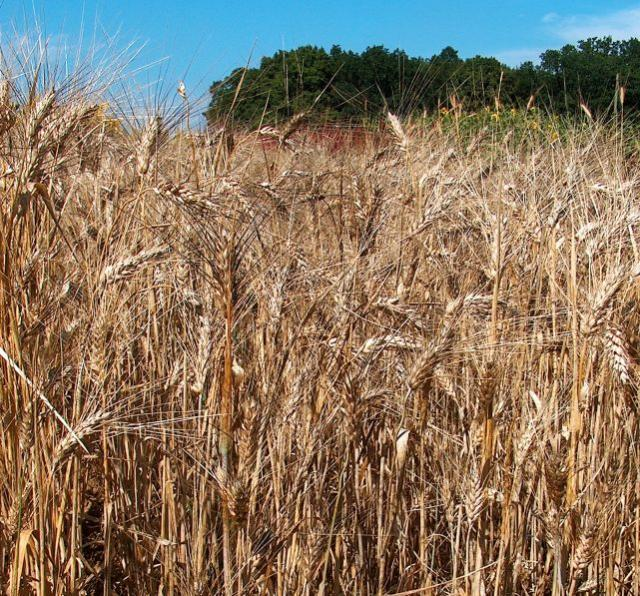 Durum wheat (Triticum durum)