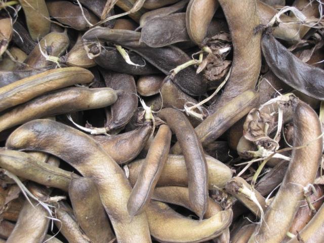Faba bean pods (Vicia faba), ripe