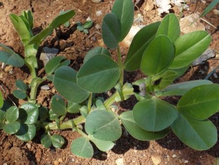 Narbonne vetch (Vicia narbonensis), habit