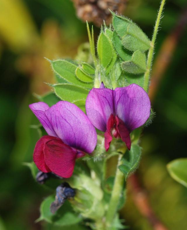 Vicia sativa flowers