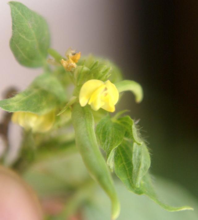 Moth bean (Vigna aconitifolia) flower close-up