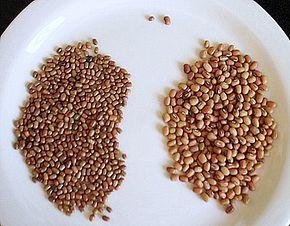 Moth bean (Vigna aconitifolia) seeds