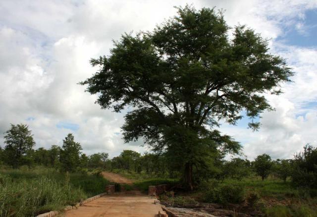 Monkey thorn (Acacia galpinii), habit, Zimbabwe
