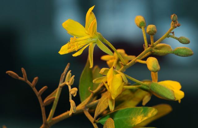 Yeheb (Cordeauxia edulis), flowers