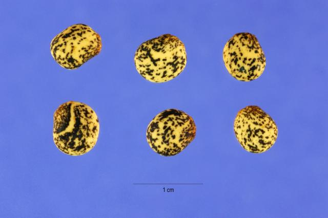 Yellow lupin (Lupinus luteus), seeds