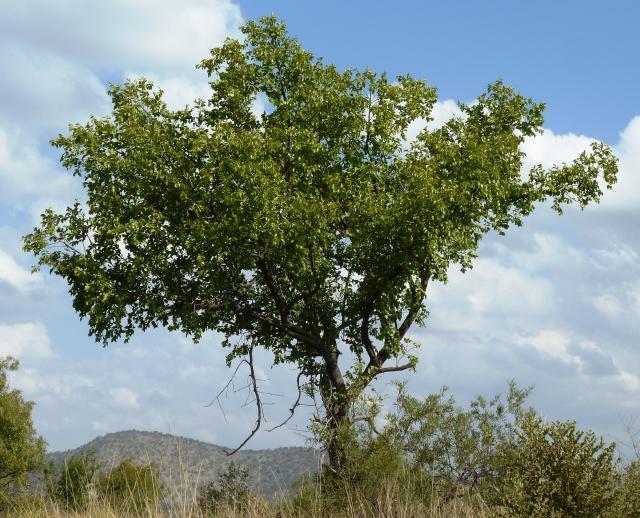 Buffalo thorn (Ziziphus mucronata), habit, Phalandingwe, Pelindaba, South Africa