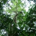 Breadnut tree (Brosimum alicastrum), habit, Belize