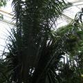African palm oil (Elaeis guineensis), Kew Gardens, London