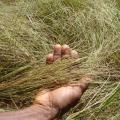 Fonio sheaf before threshing