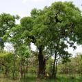 Afzelia african tree, habit, Comoé Park, Ivory Coast