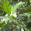 Breadfruit fruit and leaves