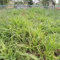 Congo grass (Brachiaria ruziziensis), habit, Thailand