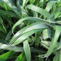 Bread grass (Brachiaria brizantha), Hawaii