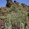 Cissus (Cissus quadrangularis) habit, Lanzarote, Canary Islands, Spain