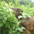 Cow browsing cratylia (Cratylia argentea) foliage, Nicaragua