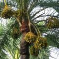 Date palm (Phoenix dactylifera L.) fruits