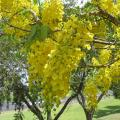 Golden tree (Cassia fistula), habit