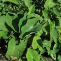 Sweet potato leaves, North Vietnam