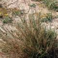 Sewan grass, Israël