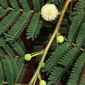 Leucaena leucocephala flowers