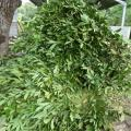 Indian laurel (Litsea glutinosa) forage