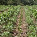 Field with maize, cassava and jack bean