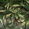 Arrowroot (Maranta arundinacea) leaves