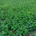 Mung bean (Vigna radiata) field