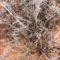 Osteospermum spinescens, Photographer: C.Mayer