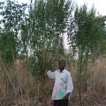 Pigeon pea (Cajanus cajan) plants in Togo