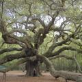 Angel Oak, Johns Island, South Carolina