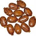 Castor (Ricinus communis) seeds