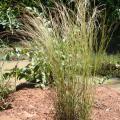 Crimson bluestem (Schizachyrium sanguineum) habit