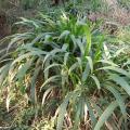 Big-leaf bristle grass (Setaria megaphylla), habit