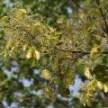 Sal (Shorea robusta), new leaves with flower buds at Jayanti, Duars