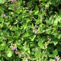 Greenleaf desmodium (Desmodium intortum), habit