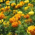 Tagetes erecta flowers
