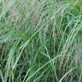 Teff (Eragrostis tef), flowering plant