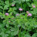 Persian clover (Trifolium resupinatum), foliage and flowers