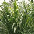 Guatemala grass (Tripsacum andersonii)
